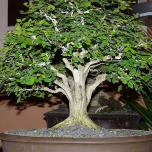 Styl Hōkidachi (styl miotlasty) – drzewko o prostym pniu i miotlastej koronie. Najczęściej używanymi roślinami do formowania w stylu Hōkidachi są brzostownice, klony wiązy, cyprysiki i klony oraz drzewa kwitnące i owocujące.