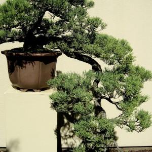 Styl Kengai (styl kaskadowy) - drzewa i krzewy zwieszające się z występów skalnych, drzewo o wijącym się pniu, może mieć dowolną liczbą gałęzi lewych, prawych i frontowych. Wierzchołek drzewka powinien się znajdować poniżej dna pojemnika.
