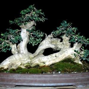 Styl Netsuranari (styl pełzający) - Styl pełzający - drzewko o nieparzystej liczbie pni wyrastających z poziomo zakopanego w pojemniku korzenia. Styl Netsuranari jest rzadko spotykany nawet w Japonii.