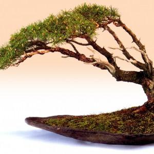 Styl Fukinagashi (styl ukształtowany przez wiatr) - gałęzie skierowane w jedną,  wyznaczoną przez wiatr, stronę. Drzewka mogą być uformowane w sposób sprawiający wrażenie, jakby były narażone na działanie ciągłego wiatru lub jakby zostały uderzone nagłym, silnym podmuchem.