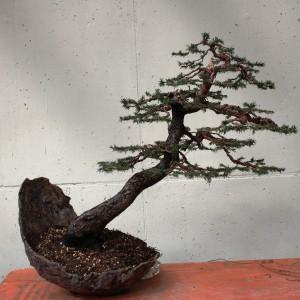 Styl Shakan (styl pochylony) - Wyróżnia się trzy odmiany stylu Shakan: Shō-shakan - drzewko lekko pochylone, Chū-shakan - drzewko średnio pochylone i Dai-shakan - drzewko mocno pochylone. Poleca się sosny i azalie.