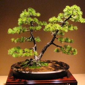 Styl Sōkan (styl dwupienny) - to drzewko o dwu pniach. Poniżej rozwidlenia pnia nie mogą wyrastać żadne gałązki. Pnie nie mogą być równej długości. Pierwsza dolna gałąź pnia niższego zawsze powinna wyrastać niżej, niż pierwsza dolna gałąź pnia wyższego. Gałęzie obu pni nie mogą się krzyżować. Stosuje się świerki, jałowce, sosny i klony.