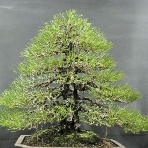 Styl Chokkan (wyprostowany regularny) – drzewko o wyprostowanym pniu, gałęzie formowane w kształt piramidy, wyrastające we wszystkich kierunkach. Gałęzie skierowane ku górze dają efekt młodości, ku dole – starości.