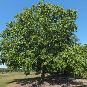 Orzech włoski to piękne drzewo rozrastające się do pokaźnych rozmiarów. Niestety wydziela toksyny, które mogą uszkadzać inne rośliny. Fot. Liupis.