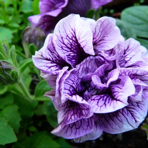 Petunia. Źródło Wikipedia.
