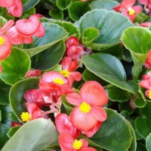 Begonia stale kwitnąca. Fot. Rosliny Urzadzamy.