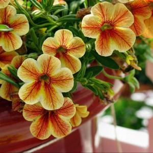Surfinia. Fot. Kwiatki.