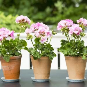 Zieleń wokół domu: postaw na pelargonie. Fot. Pelargonium for Europe