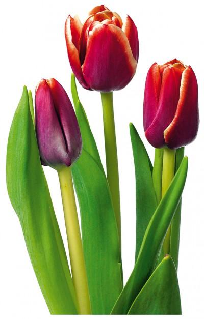 Biuro Kwiatowe Holandia tulipany
