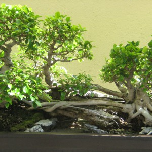 Styl Ikadabuki (styl tratwy) - Jest to lasek bonsai, którego drzewa są gałęziami pionowo wyrastającymi z poziomo zakopanego w pojemniku pnia. Zabarwienie drzewek zmienia się w zależności od pory roku. Do formowania w tym stylu nadają się zarówno drzewa i krzewy liściaste, jak i iglaste.