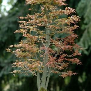 Styl Kabudachi (drzewko o wielu pniach) - z jednego systemu korzeniowego wyrasta kilka pni. W stylu tym liczba pni musi być nieparzysta. Najlepiej nadają się sosny, jałowce i świerki.