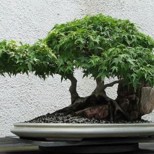 Styl Ishizuke - Są dwa sposoby sadzenia pojedynczych bonsai na kamieniach. W pierwszym korzenie oplatają kamień, ale sięgają podłoża w pojemniku i głównie stamtąd czerpią wodę i składniki pokarmowe, natomiast w drugim drzewko jest rzeczywiście posadzone na kamieniu.