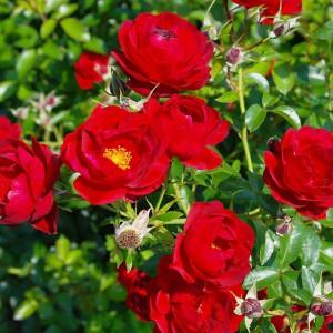 Róża. Fot. Rozarium.
