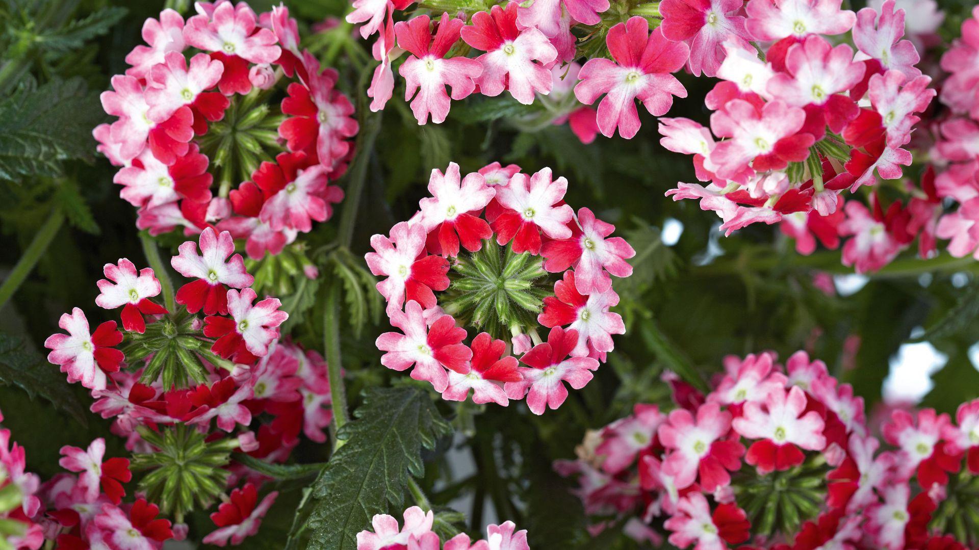 Kwiaty Na Balkon Najpiękniejsze Gatunki