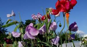 Na balkonie lub tarasie możemy założyć swój mini kwiatowy ogród w odpowiednio przygotowanych skrzynkach.