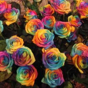 Tęczowe róże. Fot. Wallbeam