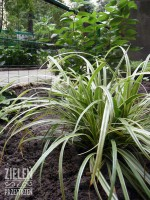 Modernizacja zieleni osiedlowej - nowe nasadzenia - Carex 'Silver Sceptre' (Turzyca odm. Silver Sceptre) oraz Hydrangea paniculata 'Bombshell' (Hortensja bukietowa odm. Bombshell).
