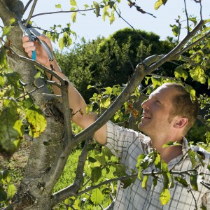 Przed przystąpieniem do pracy dobrze jest poznać potrzeby drzew, by wiedzieć jakie gatunki można przycinać, na jakim etapie ich rozwoju i o jakiej porze roku. Obserwujmy jak dane drzewko się rozrasta, co ułatwi nam ocenę intensywności przycinania i zachowanie naturalnego kształtu rośliny. Fot. Gardena.