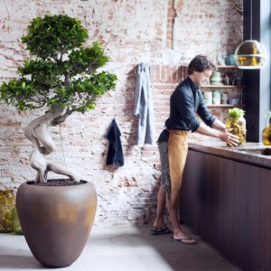 Wieloletni Fikus Ginseng z dekoracyjnymi korzeniami, które przybierają oryginalne formy. Fot. Flower Council.