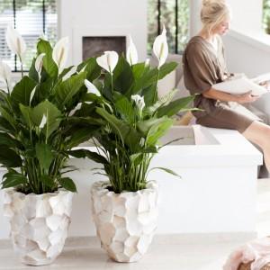 Skrzydłokwiat jest długowieczną roślina doniczkową o dekoracyjnych liściach i kwiatach. Fot. Flower Council.