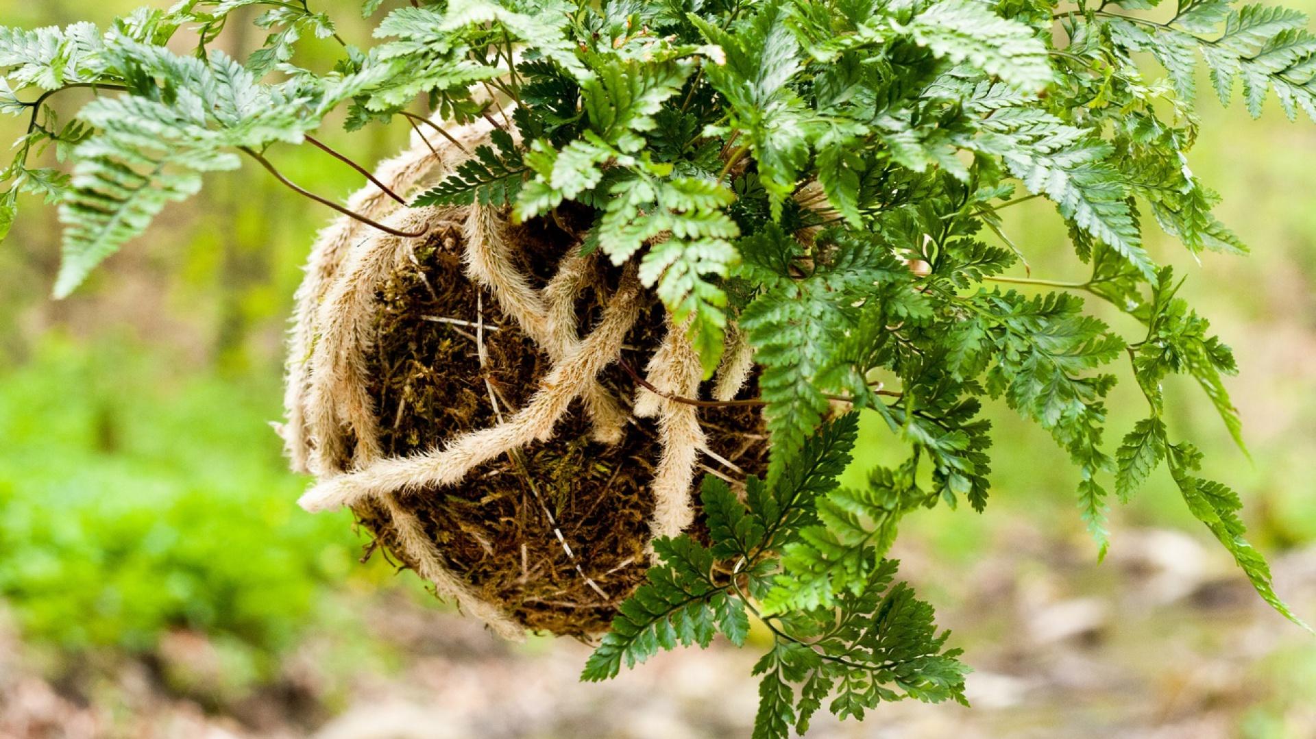 Uprawiaj Rośliny Bez Doniczki Nowa Japońska Sztuka