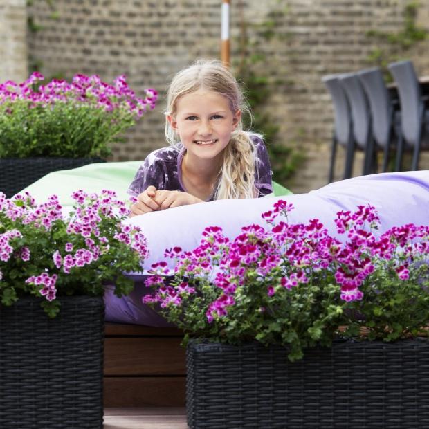 Kwiaty w ogrodzie. Piękna historia pelargonii