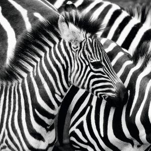 Obraz Zebra to utrwalone na materiale plexiglass zdjęcie. Wymiar: 120x10 cm. 4.380 zł. Fot. Artwood