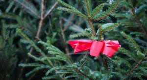 Rodzajów żywych drzewek bożonarodzeniowych jest zaledwie kilka, jednak wybór najbardziej odpowiedniego czasami bywa nie lada wyzwaniem. Na co zwrócić uwagę przed zakupem? Jak dbać o żywą choinkę? Odpowiedzi na te pytania znajdują się poniżej