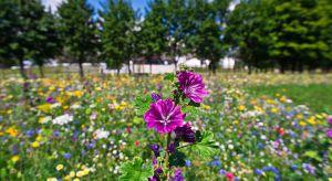 Zastępowanie uciążliwych trawników pożytecznymi i pięknymi łąkami kwietnymi staje się już ogólnopolskim trendem miejskim. Tylko w 2017 roku w przestrzeni publicznej Krakowa powstało 100 000 m2 kwitnących łąk, a projekt stał się flagową e