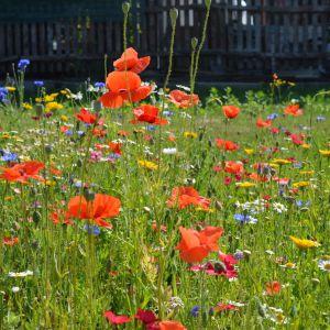 Łąki kwietne wymagają mniej pielęgnacji niż trawniki. Są odporne na susze i wystarczy kosić je raz w sezonie. Fot. Fundacja Łąka