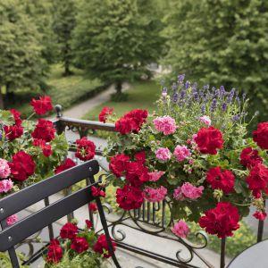 Aranżacja balkonu w mieście: piękne pelargonie. Fot. Pelargonium for Europe