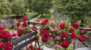 Pelargoniedzięki licznym kolorom, odmianom kwiatów i liści przekształcają miejskie balkony, tarasy i dziedzińce w oazy spokoju i relaksu a ich odporność na ciepło i łatwość w utrzymaniu sprawia, że idealnie wpisują się w miejski krajobraz