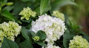 Bukiet pięknych kwiatów w wazonie doskonale zaprezentuje się w każdym wnętrzu. Co sprawić, aby jak najdłużej rośliny te były w dobrej kondycji?