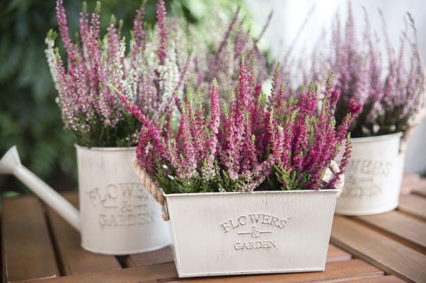 Wrzos w różnych odcieniach fioletu znakomicie ożywia wnętrza. Jego piękna barwa świetnie komponuje się z elementami wyposażenia w podobnym kolorze.