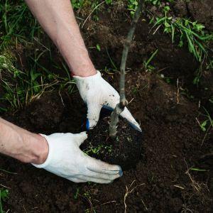 Jesienne sadzenie drzew. Fot. Krysiak