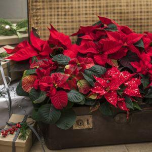 Dzięki zachwycającemu bogactwu kolorów, poinsecja daje niezliczone możliwości dla tworzenia bożonarodzeniowych dekoracji. Fot. Stars for Europe