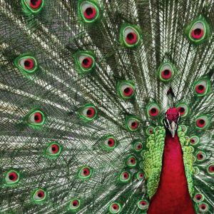 Fototapetę Peacock także w wersji sapomprzylepnej. Fot.  Pixers