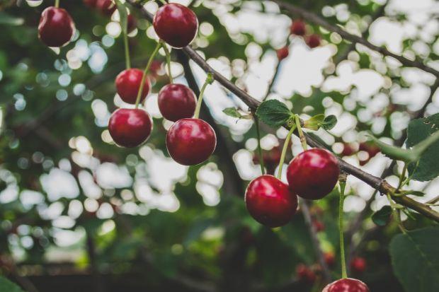 Cięcie drzew owocowych: najważniejsze zasady