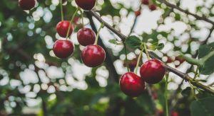 Cięcie drzew owocowych powinno należeć do stałych zadań wpisanych do kalendarza każdego właściciela ogrodu lub sadu. Przeprowadzane regularnie zapewni zdrowy wzrost roślin, a co za tym idzie - obfite plony.