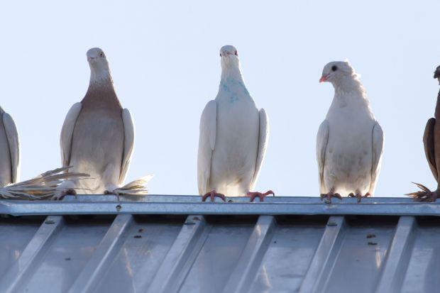 """Popularne przysłowie mówi: """"lepszy wróbel w garści niż gołąb na dachu"""". W przypadku ochrony pokrycia dachowego jego wydźwięk można potraktować dosłownie. Ptaki, a zwłaszcza gołębie są zmorą nie tylko mieszkańców domów jednoro"""
