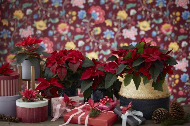 Dzięki pięknym przylistkom w kształcie gwiazdy ta zimowa roślina jest nieodłącznym elementem bożonarodzeniowych dekoracji wnętrz.