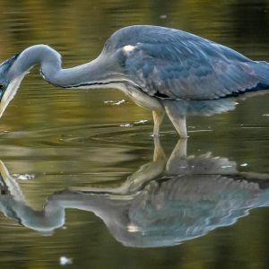 Czapla pijąca wodę. Fot. Pan Karp Towarzystwo Promocji Ryb