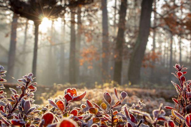 Po łagodnej jesieni i początku zimy, nadciągnęły przymrozki i ujemne temperatury. Na szczęście bez opadów śniegu. Wbrew pozorom, bezśnieżna zima jest dla roślin gorsza niż biała. Tak czy owak trzeba je chronić.