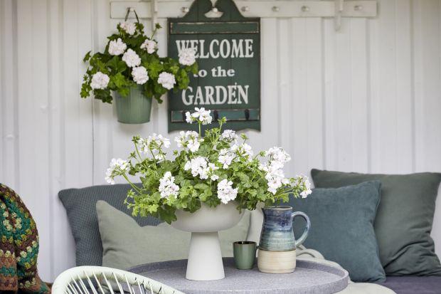 Po 15 maja, czyli zimnej Zośce i zimnych ogrodnikach, kiedy kończy się czas kwitnienia konwalii, hiacyntów, pierwiosnków i tulipanów, przychodzi pora na królową wszystkich letnich roślin - pelargonię. Ze względu na jej piękne kolory, obfite kw
