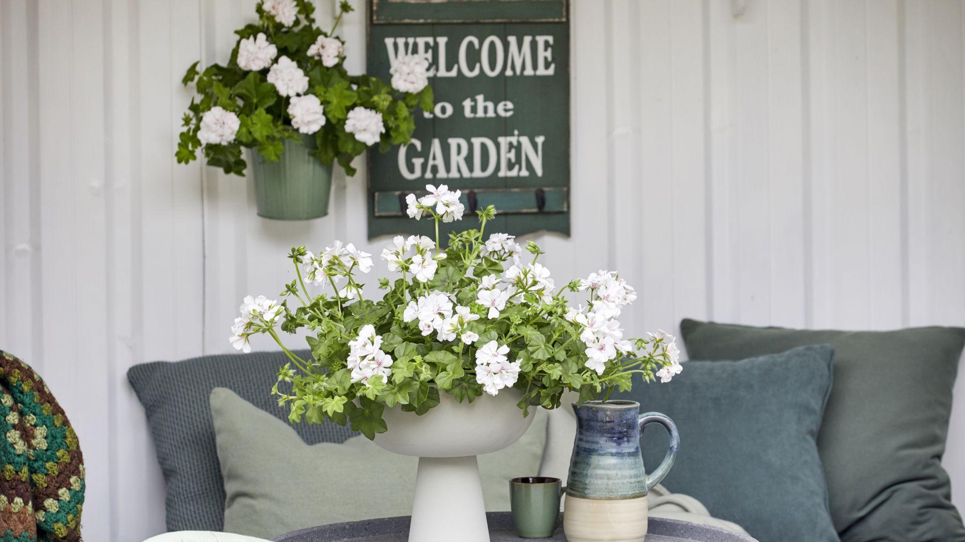 Wiosna w ogrodzie i na balkonie. Jak sadzić pelargonie. Fot. Pelargonium for Europe/ kampania Europe in Bloom