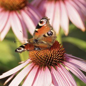 Jeżówka to bylina, która posadzona w ogrodzie przyciągnie owady. Fot. Pixabay