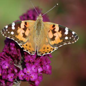 Budleja zwana motylim krzewem. Fot. Pixabay