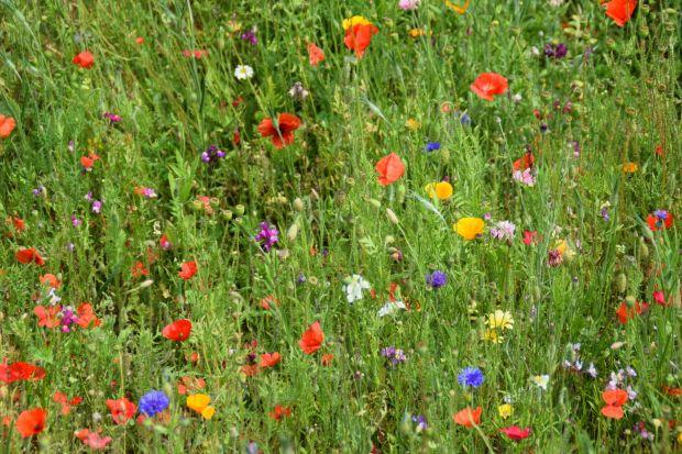 Łagodzi skutki suszy, oczyszcza powietrze, pięknie wygląda i zwiększa bioróżnorodność – zastąpienie trawnika kwietną łąką przynosi same korzyści. Poza tym taki naturalny ogród nie wymaga częstego koszenia, nawożenia i podlewania.