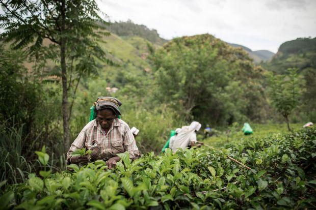 Czarna herbata to zdecydowanie najpopularniejsza z gatunków herbat na świecie. Pochodząca z dzisiejszych Chin, znana od tysiącleci, obecna jest na domowych stołach na każdym kontynencie. Intensywnie ciemny, aromatyczny napar otrzymywany jest z ususz
