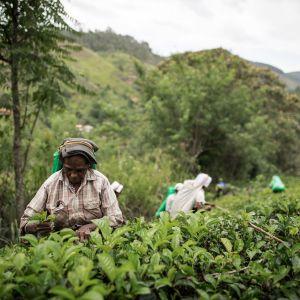 Tradycyjna herbata English Breakfast jest mieszanką dwóch rodzajów herbat: Ceylon, pochodzącej ze Sri Lanki i indyjskiej Assam (np. w English Tea Shop susz składa się z 60% Ceylon i 40% Assam). Fot. English Tea Shop Polska